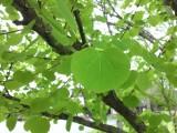 ハートの葉っぱ『カツラ』