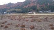 黒豆畑は乾燥中